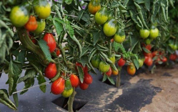 Как выращивать томат «груша красная» на своем участке: обзор сорта и секреты ухода от опытных дачников