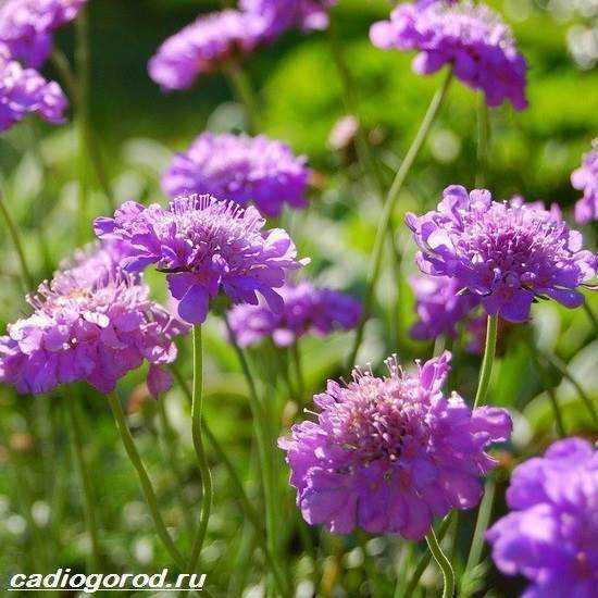 Цветы скабиоза, выращивание из семян