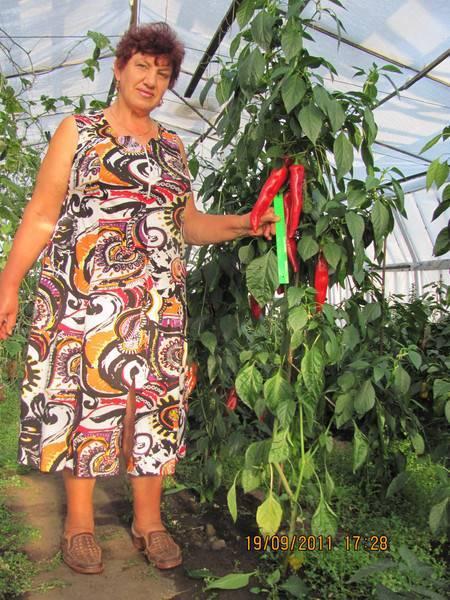 """Характеристика и выращивание перца сорта """"какаду"""". уход и возможные проблемы"""