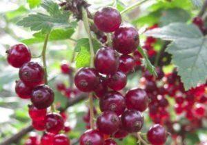 Как посадить и вырастить смородину из семян в домашних условиях