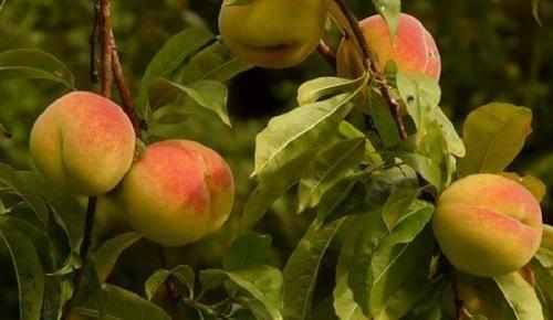 Выращивание персика в средней полосе россии