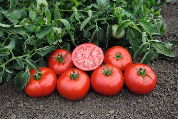 Ранний томат катя выращивай, сил не тратя
