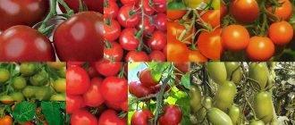 Томат лисичка: характеристика и описание сорта, урожайность с фото