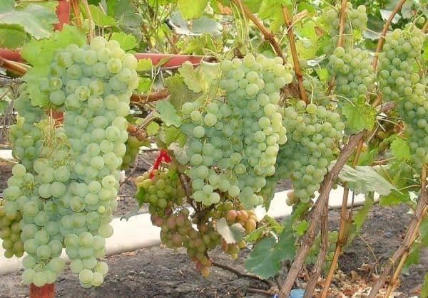 Крепкий парень, устойчивый к болезням — виноград «цитронный магарача»