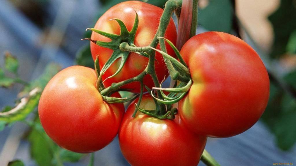 Обзор томатов джина: отличный выбор для открытого грунта