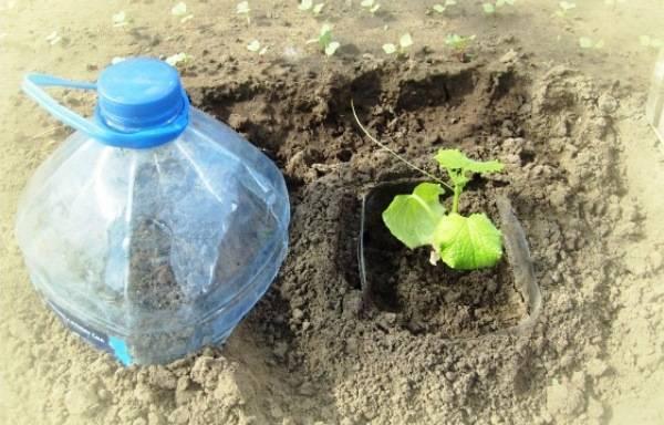 Правила посадки огурцов в пластиковые бутылки