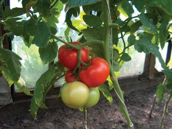 Характеристика и описание помидоров «чудо рынка» с фото