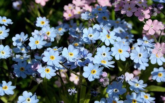 Незабудка садовая: посадка и уход