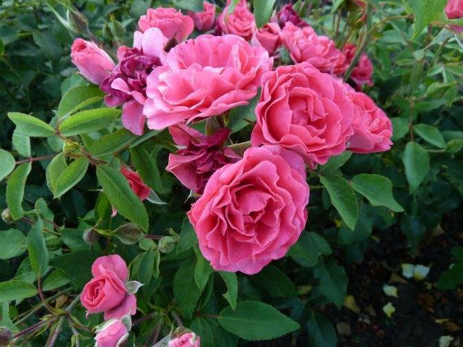 Розы флорибунда: посадка и уход для новичков