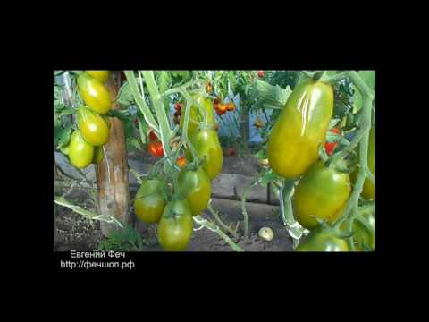 Томат данко: характеристика и описание сорта, процесс выращивания с фото