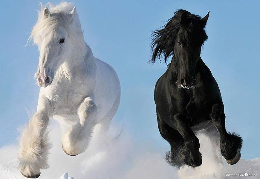 Все о лошадях-тяжеловозах