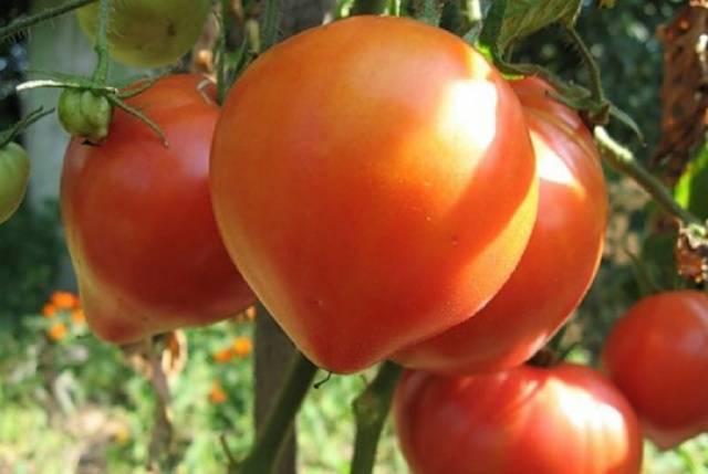 Розовоплодные томаты: сорта-фавориты вкуса
