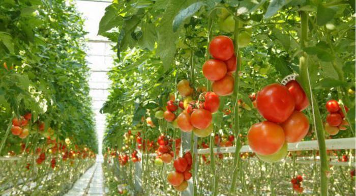 Какие удобрения используют для подкормки помидор