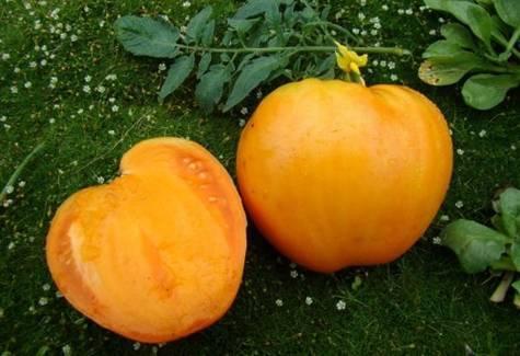 Какую урожайность можно ожидать от томата «медовый» в открытом грунте