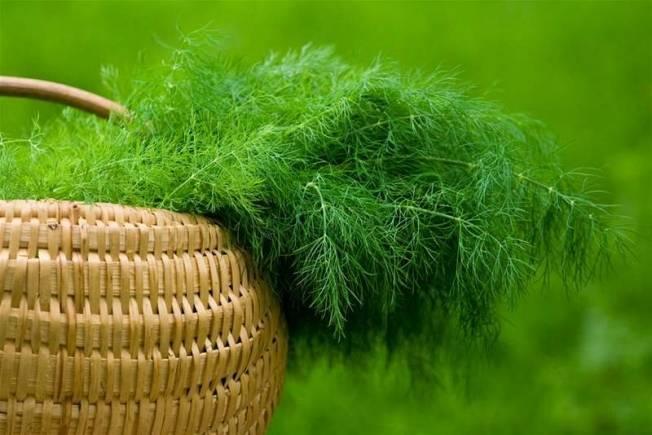 Укроп обильнолистный: отзывы, фото, урожайность