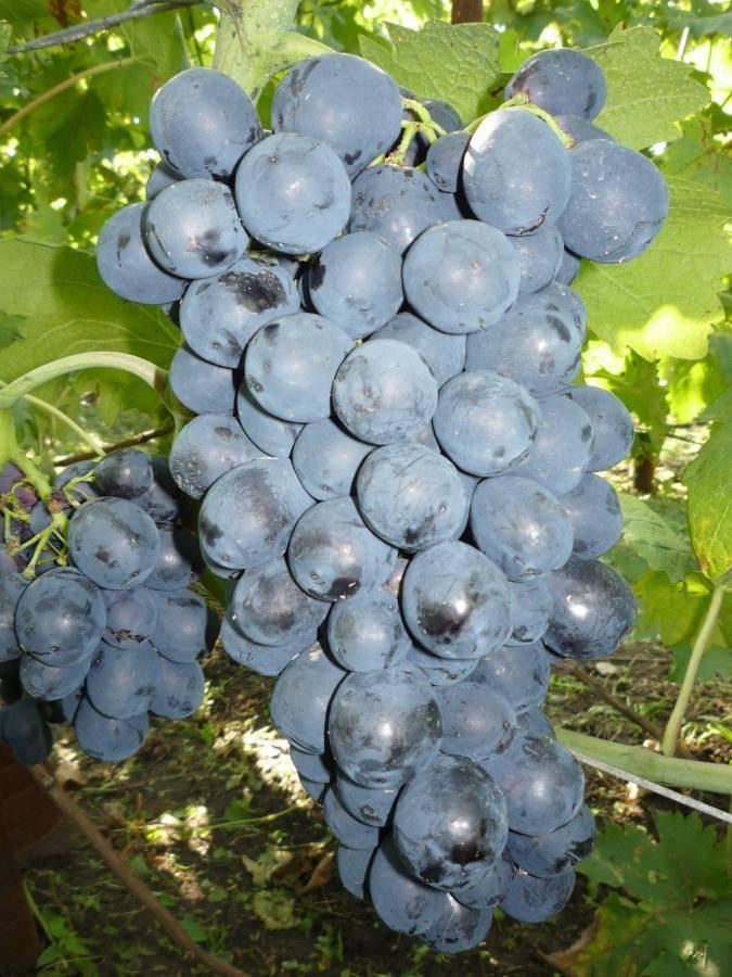 Виноград чарли: стойкий крупноплодный гибрид, которому не страшны ни грибок, ни заморозки