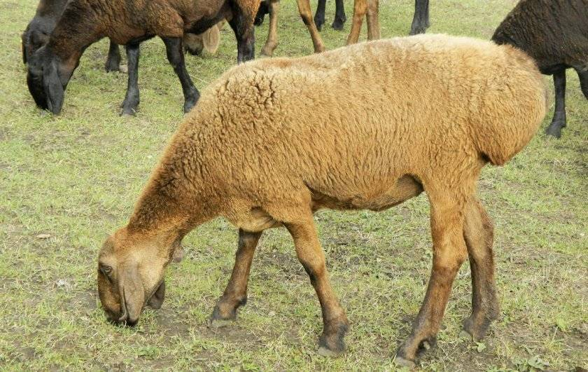 Обзор гиссарской породы: достоинства и особенности овец