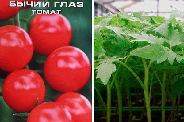 Фото, отзывы, описание, характеристика, урожайность сорта томата «бычий лоб»