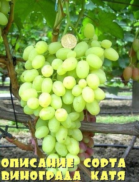 Виноград ланселот: описание и характеристики сорта, технология выращивания