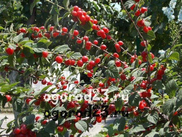 Описание сортов войлочной вишни, посадка и уход, размножения черенками и обрезка