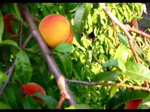 Персик воронежский: описание морозостойкого кустового сорта и особенности посадки, выращивания и ухода