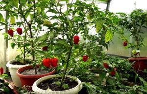 Выращивание перца хабанеро: описание сортотипа и особенностей агротехники