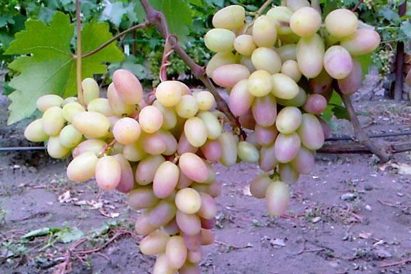 Описание сорта винограда виктор — агротехника выращивания