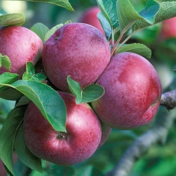 Карликовая яблоня раннее сладкое