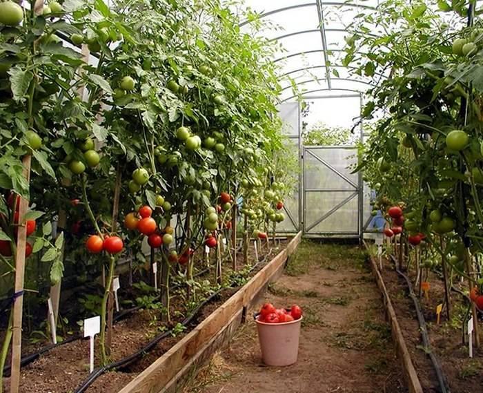 Томаты в теплице: как правильно формировать куст помидора