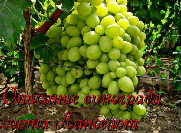 Сорт винограда ланселот – описание отзывы характеристики