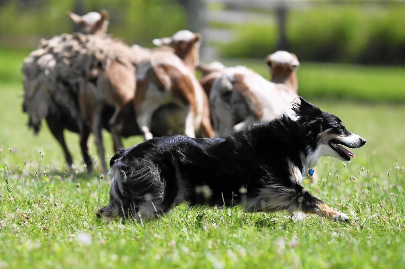 Какие собаки самые умные и дрессируемые