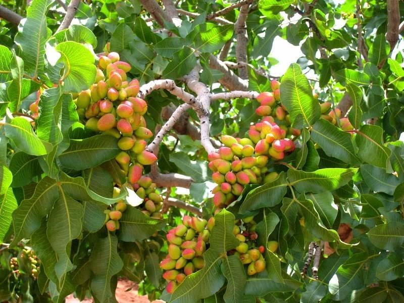 Как растут фисташки: выращивание дерева в домашних условиях