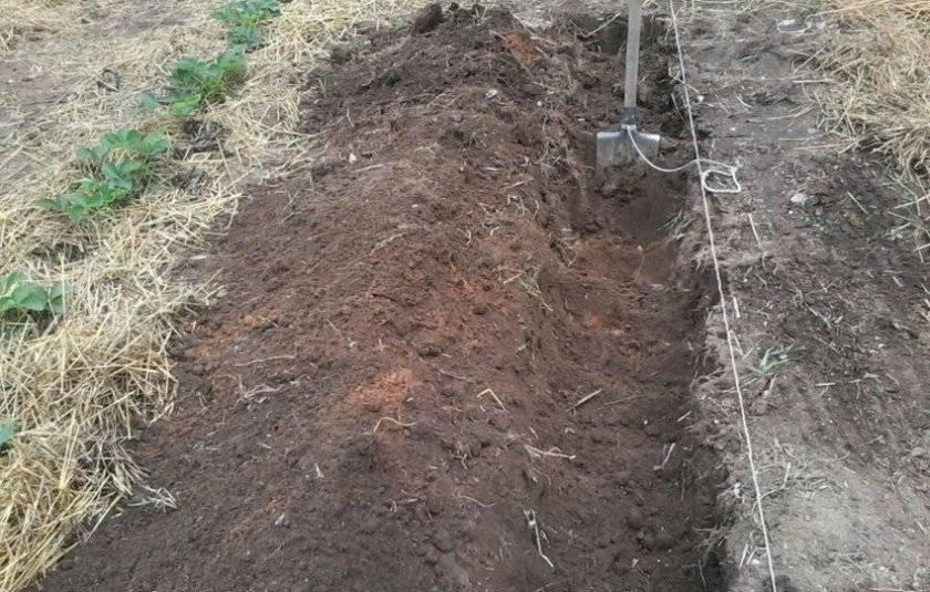 Технология выращивания амаранта из семян и рассады
