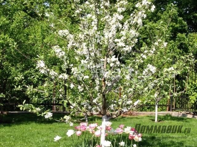 Описание сорта томата райское яблоко, особенности выращивания и ухода