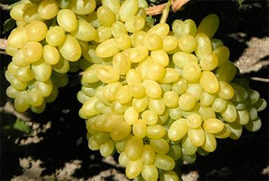 Виноград кишмиш — устойчивый, мускатный, сочный сорт!