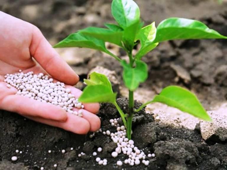 Технология корневой подкормки огурцов мочевиной и азотными удобрениями