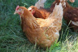 Как определить пол цыпленка – методы, фото