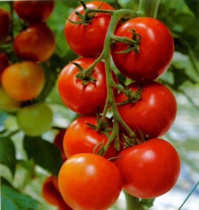Сорт томата ультраранний, сливовидный «кибиц»: описание, характеристика, посев на рассаду, подкормка, урожайность, фото, видео и самые распространенные болезни томатов