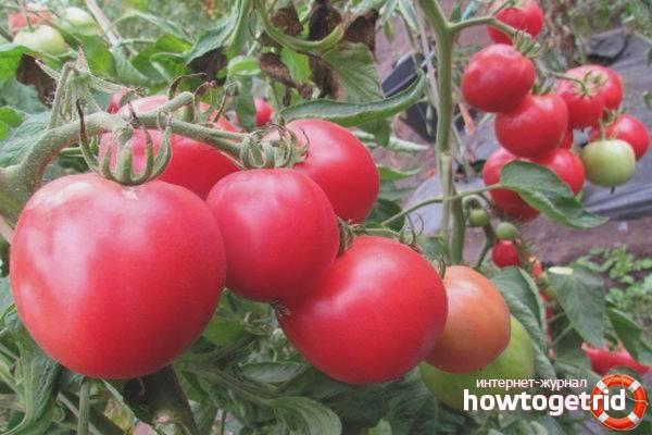 Томат поцелуй: описание раннего сорта помидоров черри, достоинства и недостатки новинки