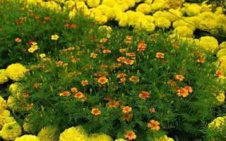 Бархатцы прямостоячие: сорта, правила выращивания и размножения