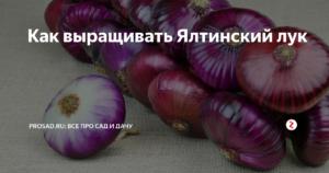 Посадка крымского лука. лук ялтинский или крымский: как выращивать в средней полосе и в подмосковье