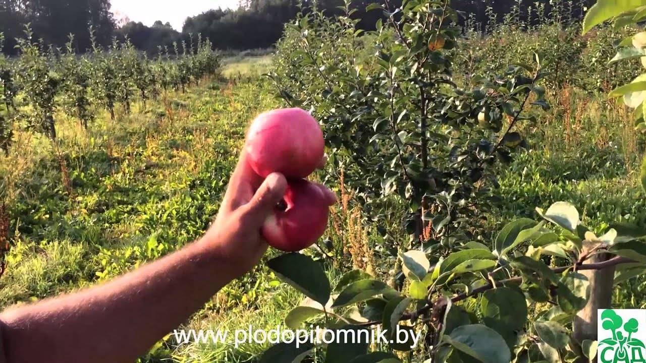Сладкое счастье: подборка ранних сортов яблонь для разных регионов россии