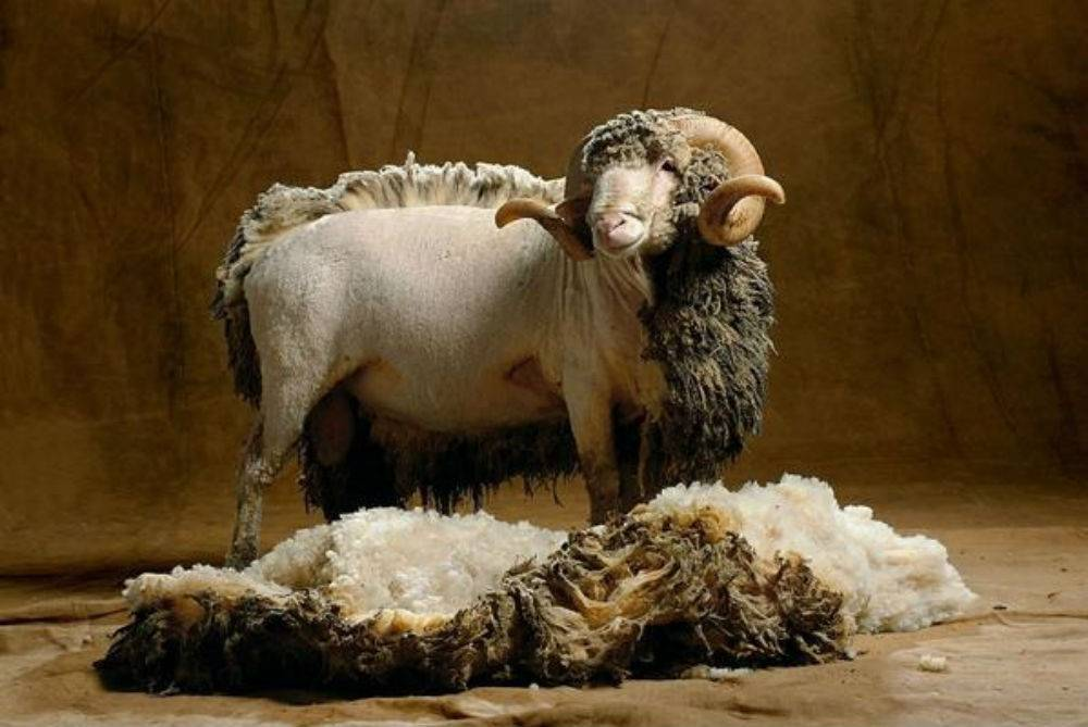 Меринос: характеристики породы овец и особенности содержания