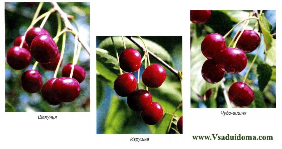 Вишня шпанка: выращиваем народное чудо-дерево