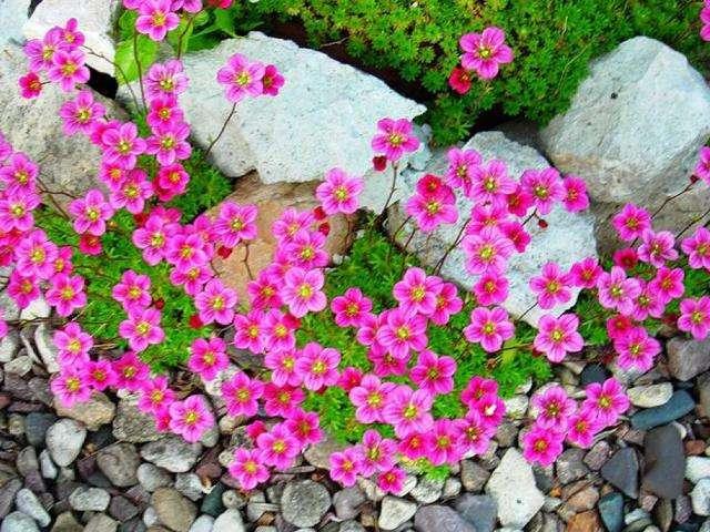 Камнеломка описание,выращивание,уход,посадка,фото,видео,виды и сорта.