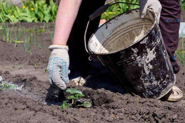 Как зола помогает избавить сад от тли