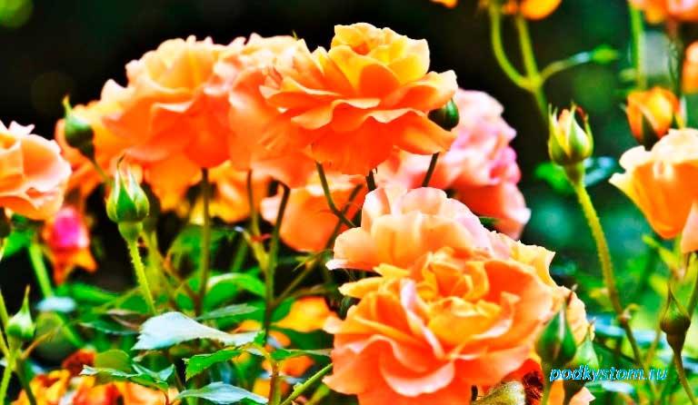 Полная информация о посадке роз осенью в открытый грунт