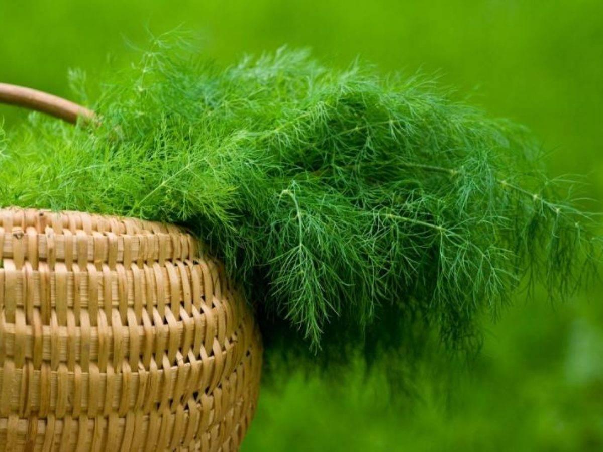 Выбор сорта кустового укропа и его выращивание