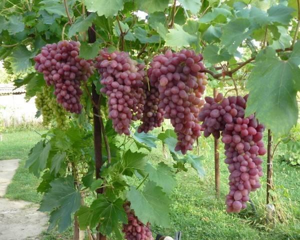 Описание винограда сорта заря несветая, посадка и уход