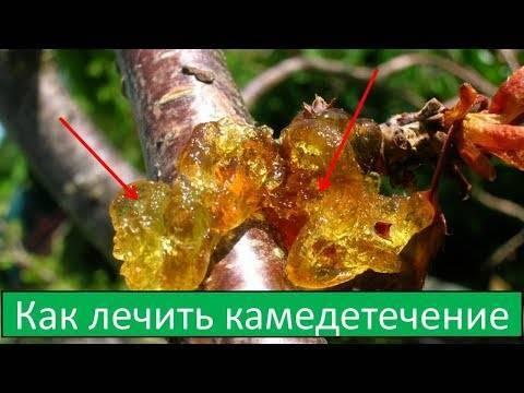 Вредители и болезни персика: способы борьбы и меры профилактики